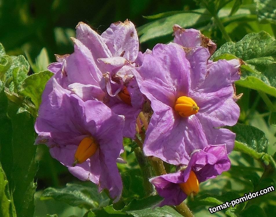 Со�� �вгени�. Цве�ение