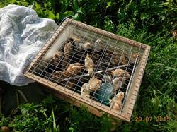 Брудер с цыплятами