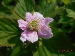 Цветёт Дарроу