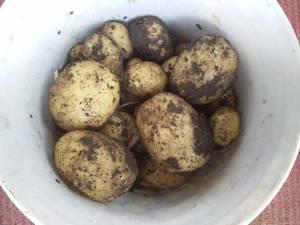 картошка рассадная 13 июня.jpg