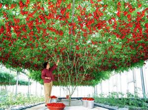 Tomat_36.jpg
