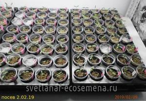 томаты на 9-02-19.JPG
