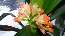 Кливия цветет