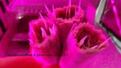 16.02.19 завернуля в пеленки семена сладких перцев