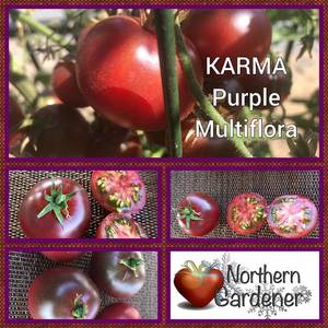 417637692_KarmaPurpleMultiflora.thumb.jpg.d348352957b6c575c6383103729eb65a.jpg