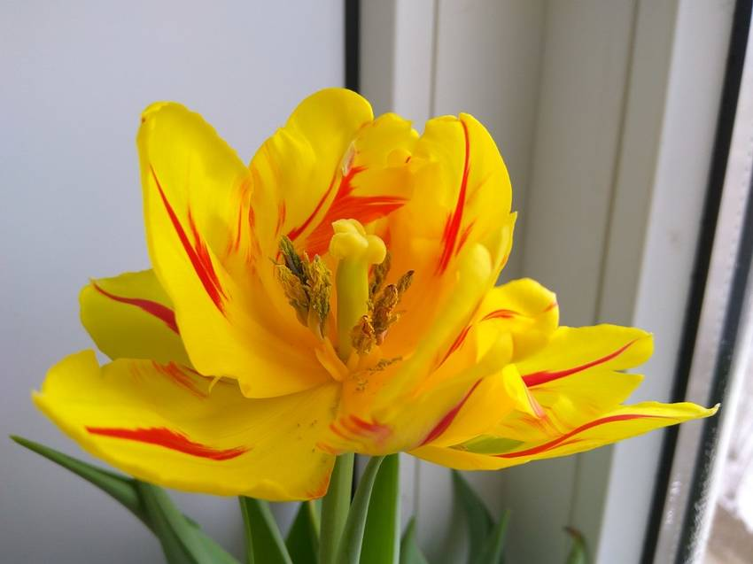 Распустился тюльпан Монселла1.jpg