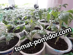 ранние томаты через 10 дней.jpg