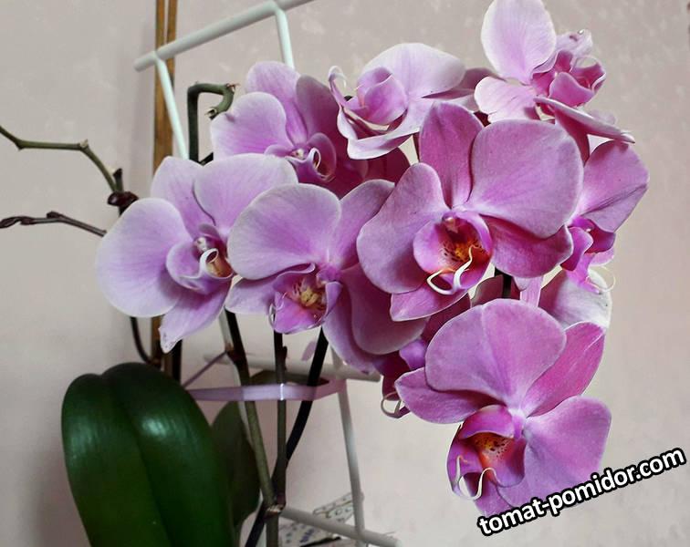 Цветет Фаленопсис