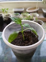 этот острый перчик выращен из семядолек и без корней в воде.jpg