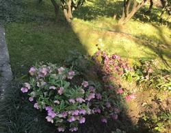 морозники в саду Дерева дружбы