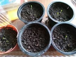 всходы лаванды из пророщенных семян.jpg