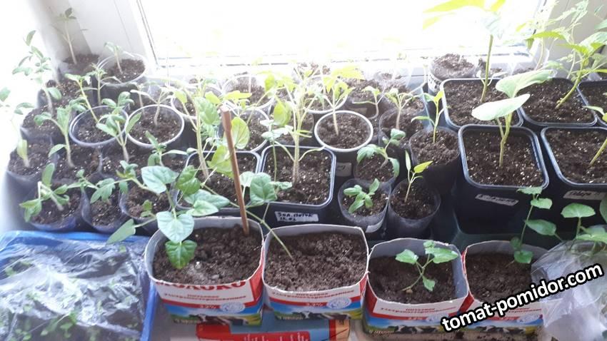 Рассада марта и февраля томаты, впереди тунбергия рассада от 01.02