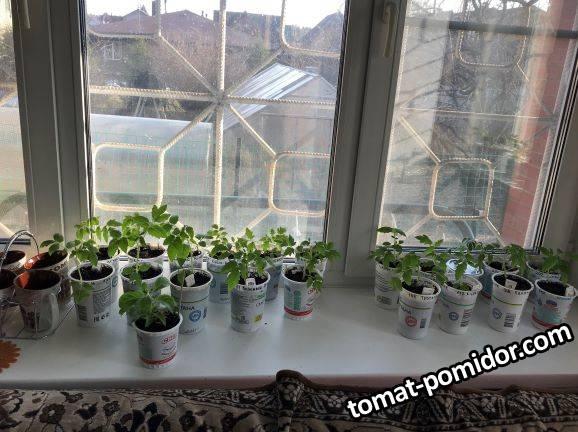 Iпереваленные томатики на 12.04