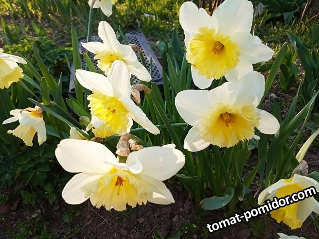 2019-04-06_18-05-05_197 Нарциссы
