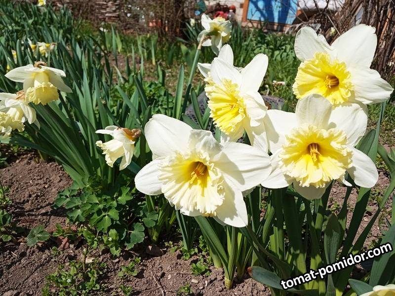 2019-04-07_14-59-15_860 Нарциссы