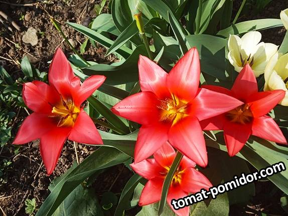 2019-04-11_21-28-47_740 Тюльпан Кауфмана красный