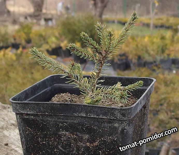 Picea glauca Nana, 1 год