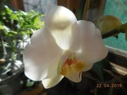 Белая орхидея. Первое цветение
