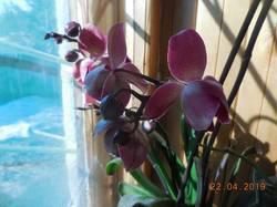 Орхидея-старожилка - цветёт, не переставая...