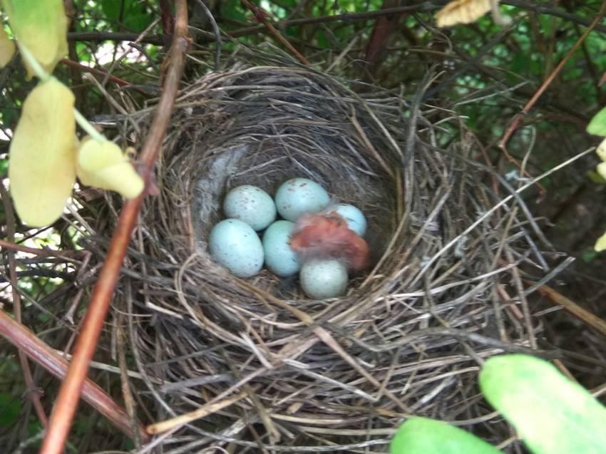 гнездо с птенчиком в жимолости.jpg