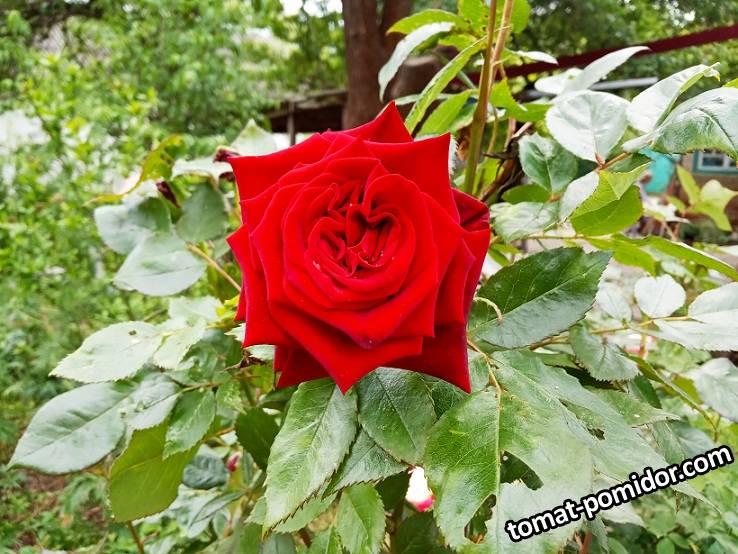 2019-05-20_18-57-20_935 Роза