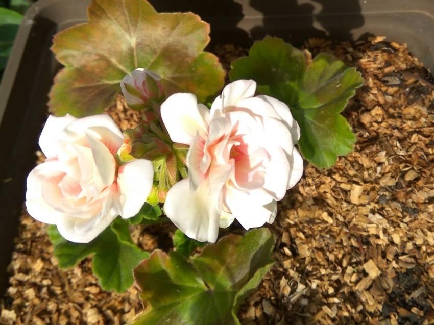 пеларгония махровая розовая2.jpg