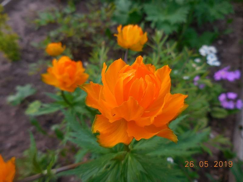 Жарки - оранжевый костёр!