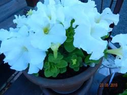 DSCN0018 Петунья Кр. цветковая.JPG