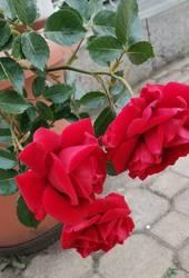 розы Болгарии