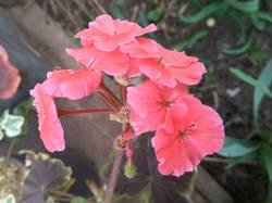 зацвела коралловая пеларгония с коричневыми листьями.jpg
