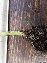 2019-05-26_15-02-44_072 Огурец,зачатки корней на стволике