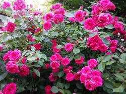 2019-05-30_19-38-36_819 Роза вьющаяся