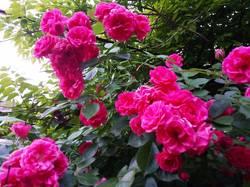2019-05-30_19-38-56_960 Роза вьющаяся