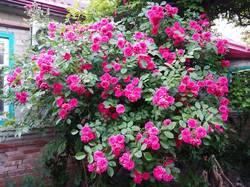 2019-05-30_19-39-44_399 Роза вьющаяся
