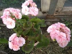 пеларгония махровая розовая.jpg