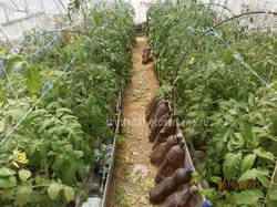 томаты 11-05-19