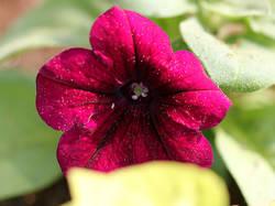 mambo burgundy