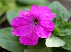 mambo violet