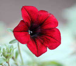Red Velour