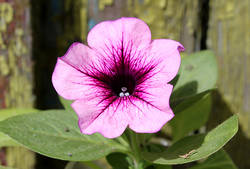 Mambo Orchid