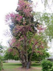 Цветущее дерево в парке