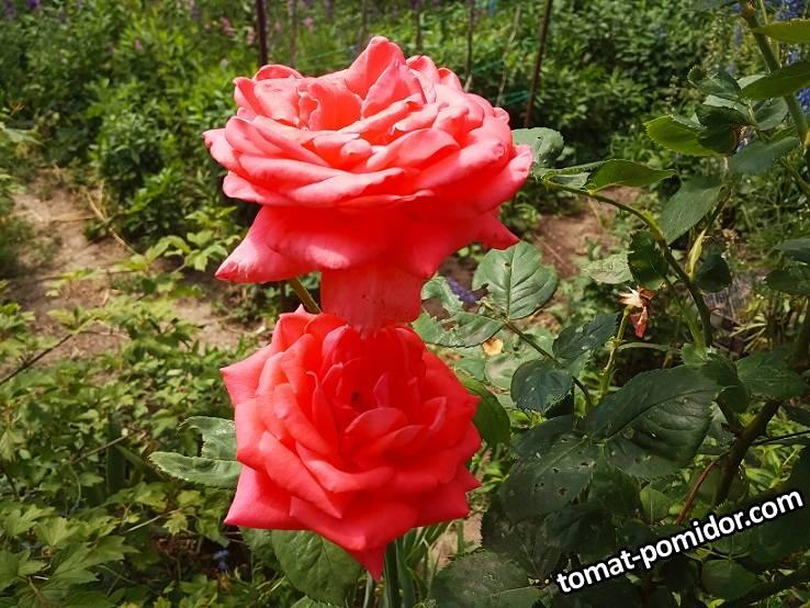 2019-06-11_20-40-12_733 Роза