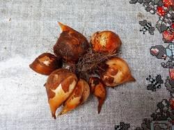 2019-06-03_16-59-59_552 Тюльпан Кауфмана.Одно,многочисленное гнездо луковиц