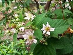 2019-06-06_19-33-27_970 Ежевика цветёт