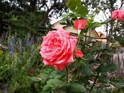 2019-06-06_19-33-40_070 Роза