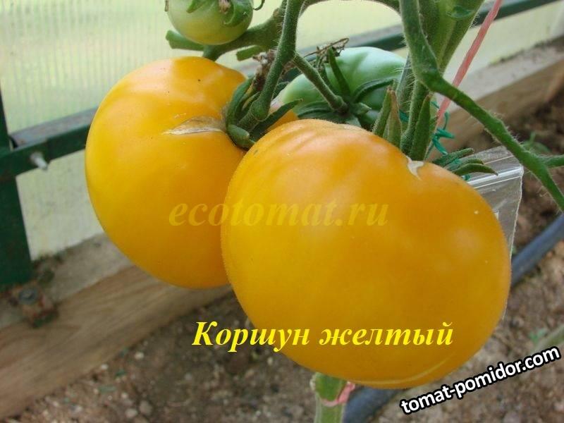 Коршун желтый (1).JPG