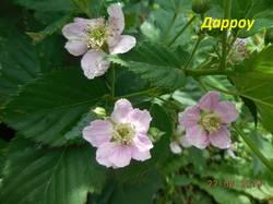 Цветок Дарроу