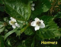Цветок Натчез