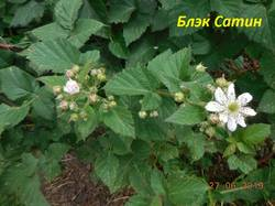 Цветок Блэк Сатин