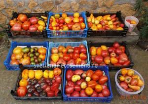 томаты 6-08-19.JPG